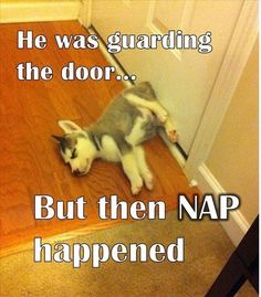 Cute napping Siberian Husky puppy....Awww!