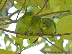 Impossibly cute group of brown-backed parrotlets #ParrotOTD. Carlos Henrique Almeida http://calphotos.berkeley.edu/cgi/img_query?enlarge=0000+0000+0212+0330 …-Media Tweets by Parrot Of The Day (@ParrotOfTheDay) | Twitter
