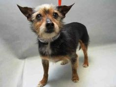 TO BE DESTROYED 04/16/16 Tiny Tia, just 5 years old, was found as a stray on Brooklyn NY. Surely she belonged to someone as she was noted by ACC shelter staff as sociable, tolerant of handling and no aggression at all. All the traits that AKC lists for the breed! The ACC has other plans for her now. She's on the