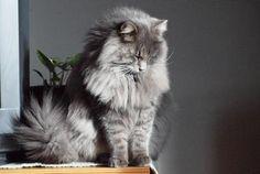 Maine Coon Cat that looks like Glory!