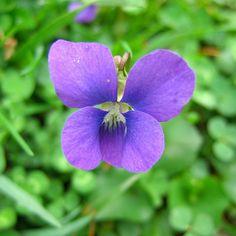 Wild Violet in Purple