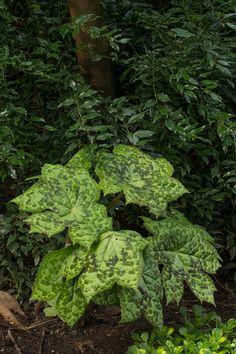 The Garden of Pat and Dave Eckerdt Unique Plants, Woodland Garden, Shade Plants, Garden Art, Perennials, Herbs, Flowers, Gardens, Outdoor Gardens