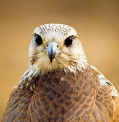 A Saker Falcon at the Cotswold Falconry Centre