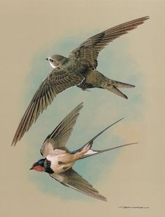 The Swift & The Swallow Vintage 1965 Basil Ede Bird Print Picture #25
