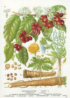 Vintage Botanical Print Antique COFFEE BERRY by VintageInclination, $7.00 - MAY