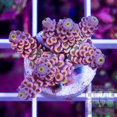 Rainbow Tenuis Acro 1 inch - Cut to order | Coral Revolution