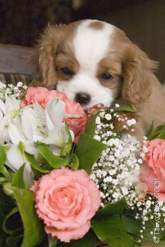 BrightLight of Moscow labradors and cavalier king charles spaniels, cavalier king charles spaniels puppy's