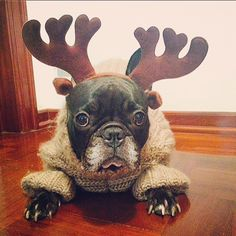 'i said i was Cold,......and now I'm a Reindeer?'  confused French Bulldog, via We Heart It
