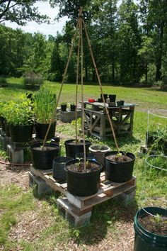Pole Beans in containers on a pallet platform.  Click image to see the story.