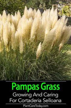 Hardy Pampas Grass care (Cortaderia selloana) for a good-looking perennial plant, lots in form, function, growing, maint Container Gardening, Gardening Tips, Organic Gardening, Organic Plants, Organic Vegetables, Grass Decor, Grass Seed, Ornamental Grasses, Front Yard Landscaping