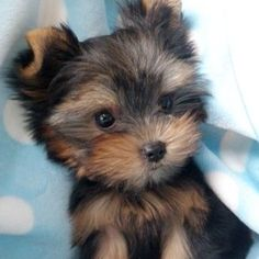 """then get her a sister named Pebbles. PS no such thing as a """"toy"""" or """"teacup"""" Yorkie. If you have a purebred Yorkie it is tiny like this. May be overweight like my Allie, or it is a mix. Just a pet peeve Animals And Pets, Baby Animals, Funny Animals, Cute Animals, Nature Animals, Cute Puppies, Cute Dogs, Dogs And Puppies, Toy Dogs"""