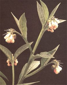 Comfrey plant: Rich in Great for vegans. Comfrey root has many natural healing properties, and mixed with other natural herbs, comfrey can create a very potent cold remedy. Cough Remedies, Herbal Remedies, Eczema Remedies, Healing Herbs, Medicinal Herbs, Natural Herbs, Natural Healing, Natural Cold Remedies, Mother Earth News