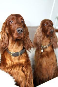 muotoseikka\ My loved ones <3 Irish red setters Mila and Noa