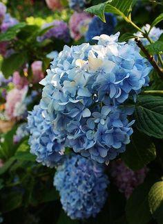 Hydrangea. One of my most favorite