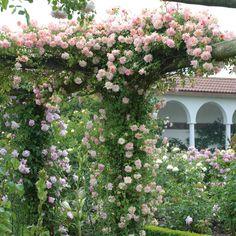 Image result for phyllis bide rose