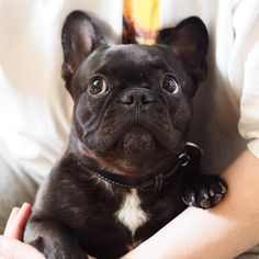 Oh Mom... I think you should always put your hand in front of your mouth when you yawn!!  ママ... あくびをする時は手でお口をかくした方がいいんじゃない?  #frenchie #frenchbulldog #instadog #frenchiesofinstagram #instafrenchie #dog #instacute #puppy #cute #instapuppy #buhi #puppylove #batpig #puppiesofinstagram #frenchielife #ilovemydog #frenchieoftheday #fab_frenchies #frenchielover #frenchiegram #frenchbulldoglife #仙台ブヒ #フレブル #フレンチブルドッグ