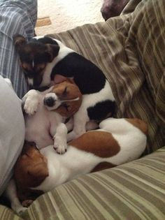 Sleeping Jack Russell puppies - cute!