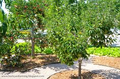 Apple, peach and pear trees in a circular cross home orchard design; mulch covers drip-line irrigation, with gravel paths in between.