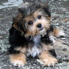 Poodle And Yorkie Mix | Yorkie poodle mix puppies