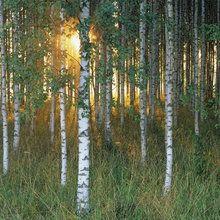 Fototapet - Sunbeam through Birch Forest