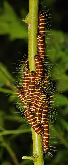 Redbase Jezebel Butterfly Caterpillars (Delias pasithoe, Pieridae)