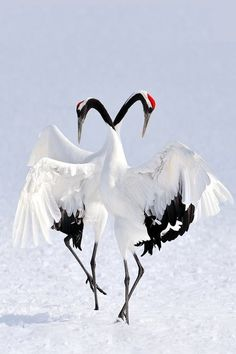 Exotic Winter Dance - Japanese Red-Crowned Cranes - Marsel van Oosten
