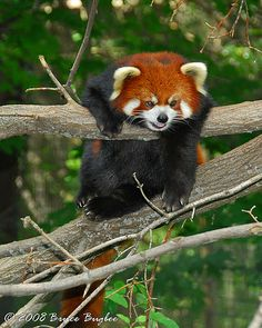 red panda bears | Recent Photos The Commons Getty Collection Galleries World Map App ...