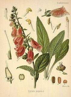 http://www.botanical.com/botanical/mgmh/f/foxglo30-l.jpg