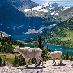 Have you heard? Its National Park Week! With over 400 amazing places to visit youre sure to discover incredible views fascinating history and outstanding recreational opportunities. Another great reason to visit national parks is to observe wildlife. So take the kids and see if you can enjoy the parks as much as these mountain goats at #Glacier #NationalPark in #Montana. Photo by @GlacierNPS Rick Sheremeta (http://ift.tt/18oFfjl). #FindYourPark #usinterior