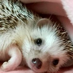 Hedgie adorable cute little hedgehog Super Cute Animals, Cute Baby Animals, Animals And Pets, Funny Animals, Pygmy Hedgehog, Baby Hedgehog, Cute Animal Videos, Cute Animal Pictures, Animal Memes