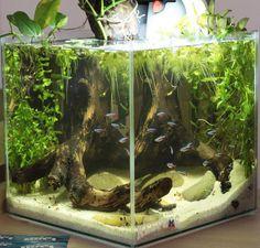 Вот так на сегодня выглядит аквариум в @shop_ambar #амазонскийбиотоп #амазонка #amazonbiotope #аквариум #аквариумныйдизайн #акваскейп #акваскейпинг #аквапоника #гидропоника #сциндапсус #фитофильтр #aquaponics #aquascape #aquariumdesign #aquariumbiotope