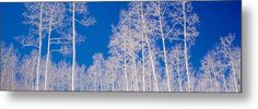 Photography Metal Print featuring the photograph Low Angle View Of Aspen Trees by Panoramic Images