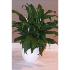 140mm Assorted Spathiphyllum Peace Lily Warehouse Plan, Peace Lily, Garden Products, Pots, Range, Store, Crib, Cookers, Larger