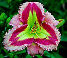 Garnet Prism - (Stamile, 2009) height 39in (99cm), bloom 6.5in (16.5cm), season M, Rebloom, Evergreen, Tetraploid, 25 buds, 6 branches,  Pink with rose red eye and edge above green throat. (Rhodolite Prism × Tet. Malachite Prism)