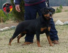 german rottweiler puppies for sale in ohio | Zoe Fans Blog