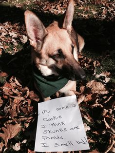 Cookie can't take the hint that skunks are not potential friends. Dog shaming.