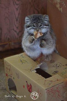 A Manul Cat (wild cat of Siberia, aka Pallas' cat) Rare Cats, Cats And Kittens, Beautiful Cats, Animals Beautiful, Felis Manul, Animals And Pets, Baby Animals, Pallas's Cat, Small Wild Cats