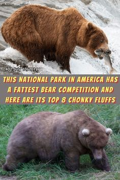 #National #Park #America #Fattest #Bear #Competition #Chonky #Fluffs