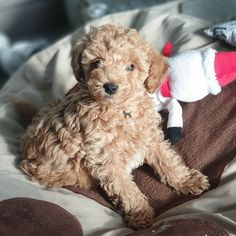 We have this beautiful Apricot poochon boy who is ready for his new home. Only 2 boys in the litter. Mum is our beautiful apricot Poochon and dad is o Poodle Mix Breeds, Pet Breeds, Puppy Breeds, Small Dog Breeds, Small Dogs, Pet Dogs, Dogs And Puppies, The Kennel Club