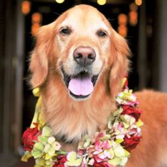 Golden retriever wedding dog ❀Flowers in their coats❀ Toni Kami