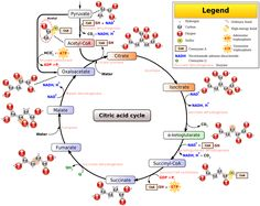 image search and search on pinterestrespiration glycolysis diagram   bing images