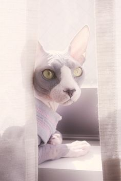 Cute sphynx awesome picture