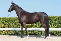 Paarden te koop: Sir Donnerhall