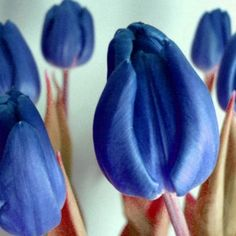 ღ ✿⊱╮Mirtha Aguilera Blue Tulips, Blue Flowers, Photo Sculpture, Pretty Shoes, Happy Day, Beautiful Flowers, Wedding Planning, Blue And White, Purple