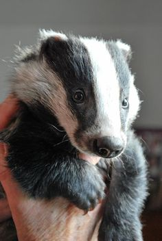 A little badger!  Squeeee!  ♥