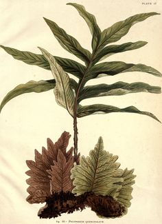 Quality antique fern giclee reproductions on matte heavy paper, either unframed or framed in thin gold or silver leaf wood frame. Made in USA by Museum Outlets