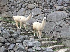 Two llamas stroll on Machu Picchu.
