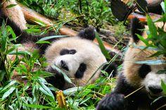 https://flic.kr/p/oSKRZt   relaxed breakfast time   2 sub-adult giant pandas at Chengdu Panda Center, Chengdu, Sichuan, China