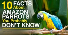 Amazon parrots are one of the larger and more popular birds kept as pets, with the blue-fronted Amazon as the most popular bird. http://healthypets.mercola.com/sites/healthypets/archive/2014/10/31/amazon-parrots.aspx