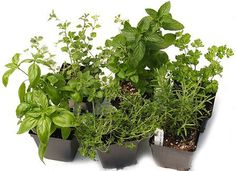 Culinary Herb combo 6 plants